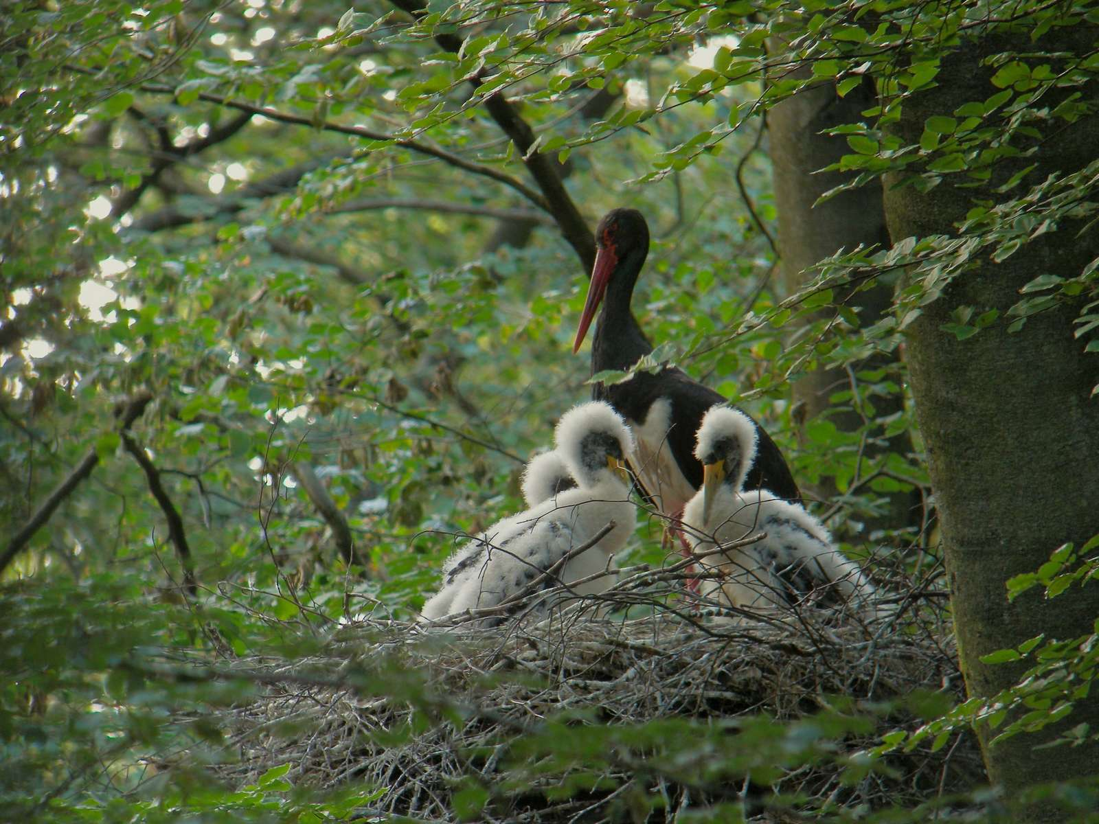 Cigogne noire (Ciconia nigra) adulte dans son nid, avec les jeunes