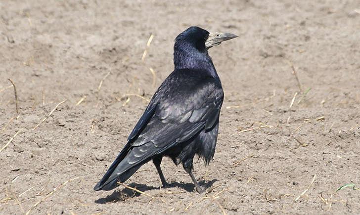 Corbeau freux (Crédits: Stefan Berndtsson - flickr)