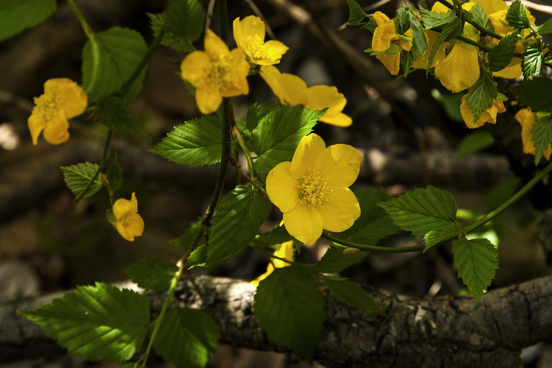 Corète du Japon, disposition des feuilles et des fleurs. Crédits : Flickr
