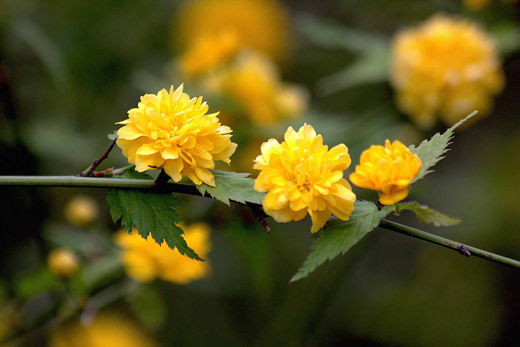 Corète du Japon, fleurs. Crédits : manuel m. v. - Flickr