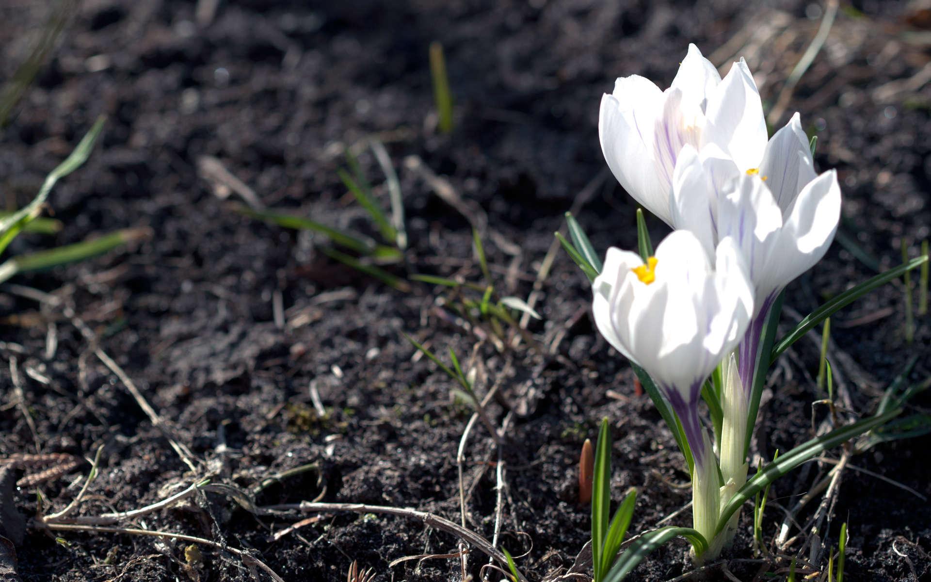 Crocus de printemps (Crédits: Ervins Strauhmanis - Flickr)