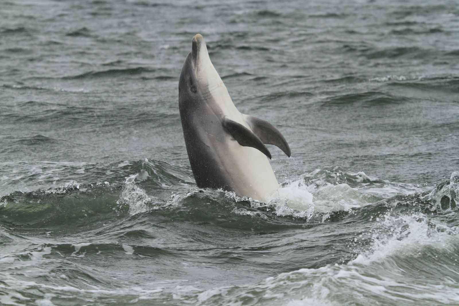 Grand dauphin (Crédits : EHolder)