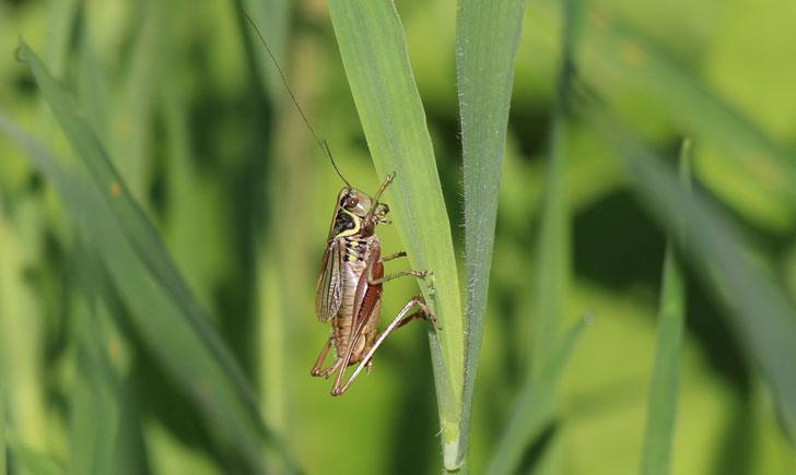 Decticelle bariolée(mâle)-Roeseliana roeselii (crédit: Quessoy)