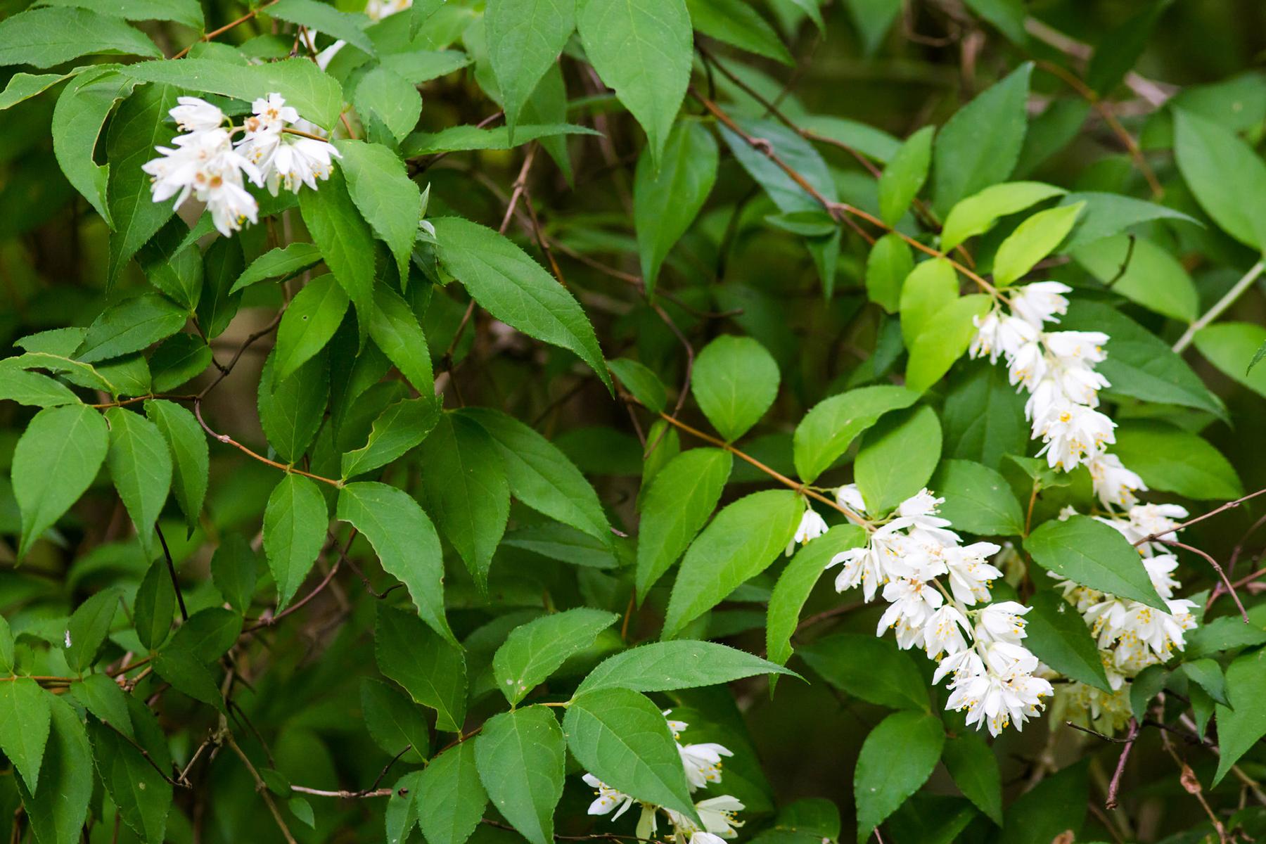 Deutzia rude, disposition des feuilles et des fleurs. Crédits : Melissa McMasters - Flickr