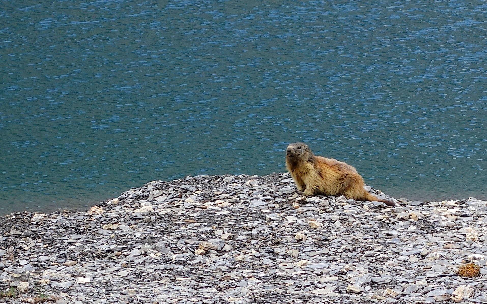 Marmotte (Crédits : Cyril Gautreau)
