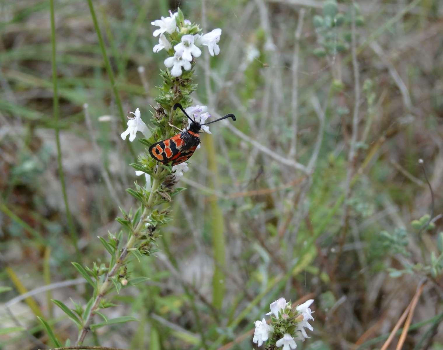 Le papillon Zygène de la petite Coronille sur une Sarriette (Crédits : Elian)