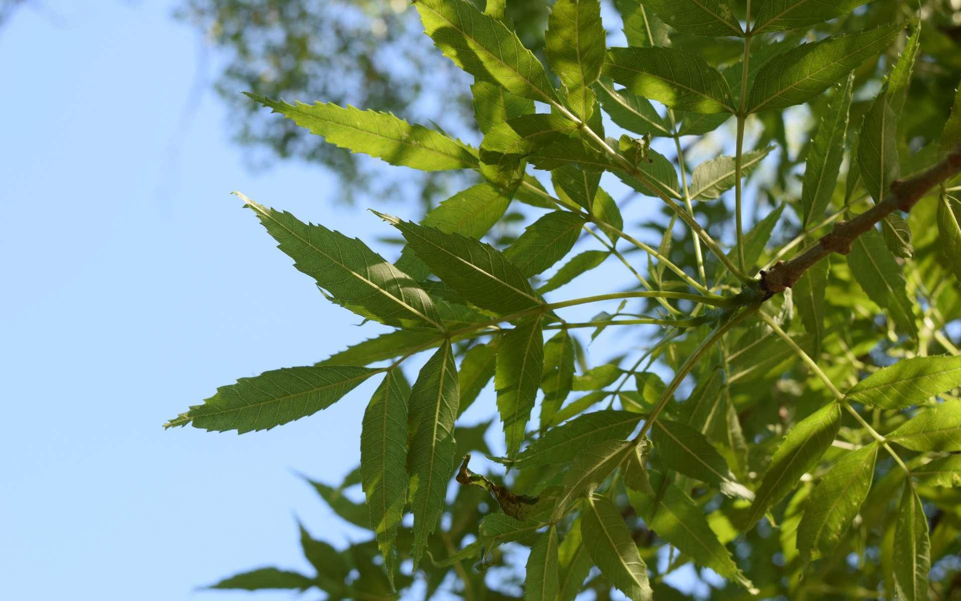 Frêne à feuilles étroites (Crédits : Sabine Meneut)