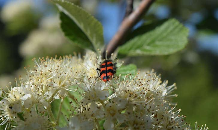 Clairon des abeilles (Crédits: Sabine Meneut)