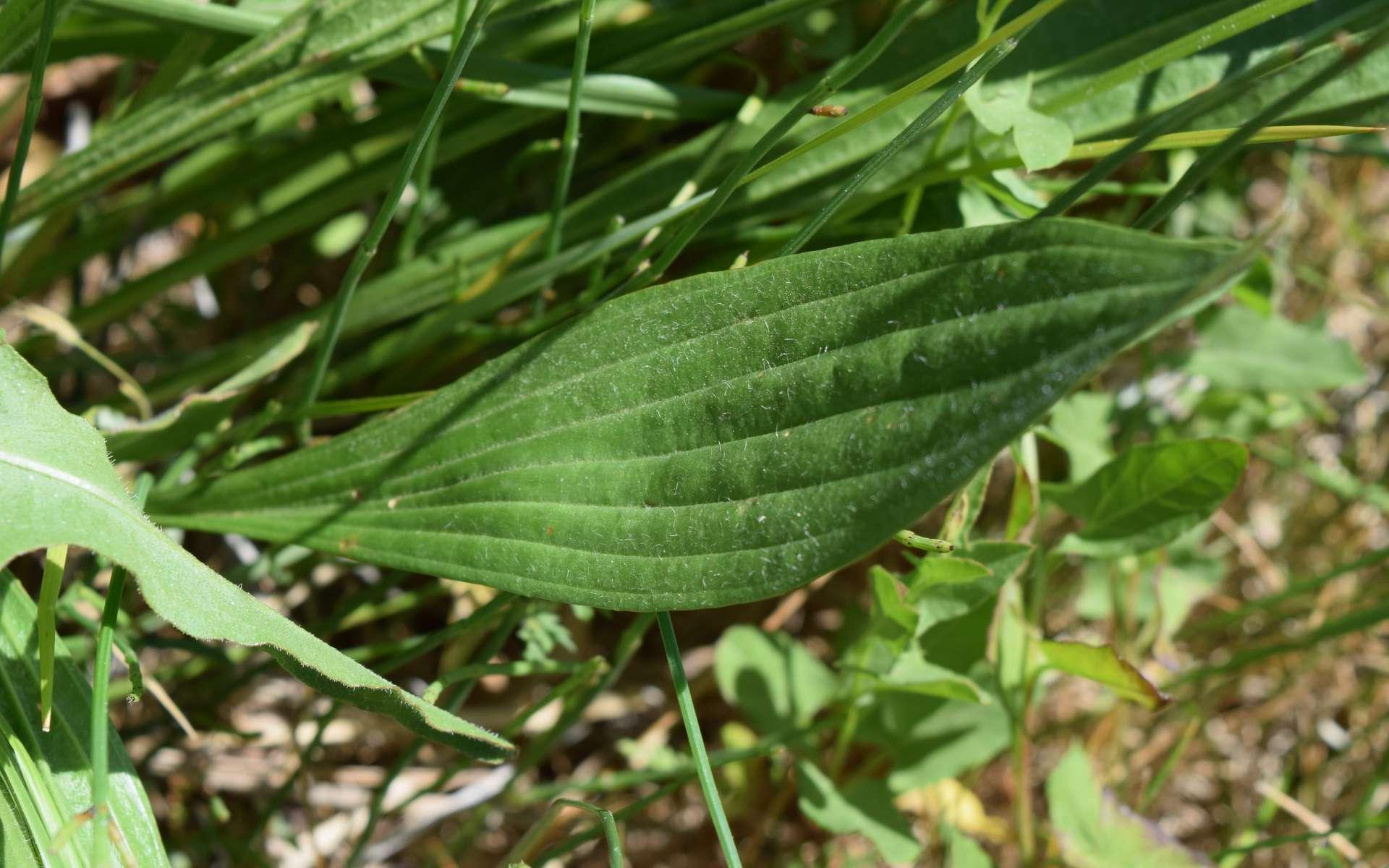 Plantain lancéolé - feuille (Crédits : Léa Charbonnier)