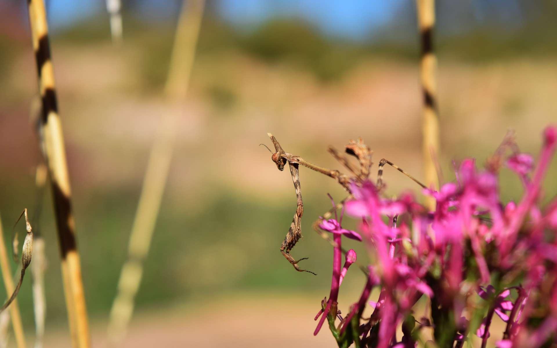 Empuse - larve femelle (Crédits : Sabine Meneut)