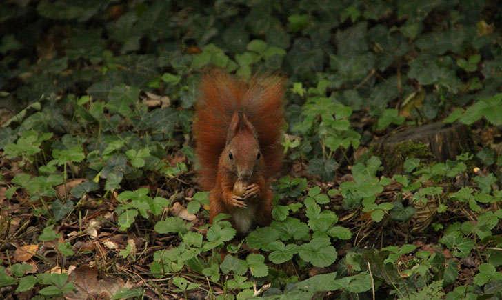 Ecureuil roux (Crédits :Klearchos_kapoutsis - Flikr)