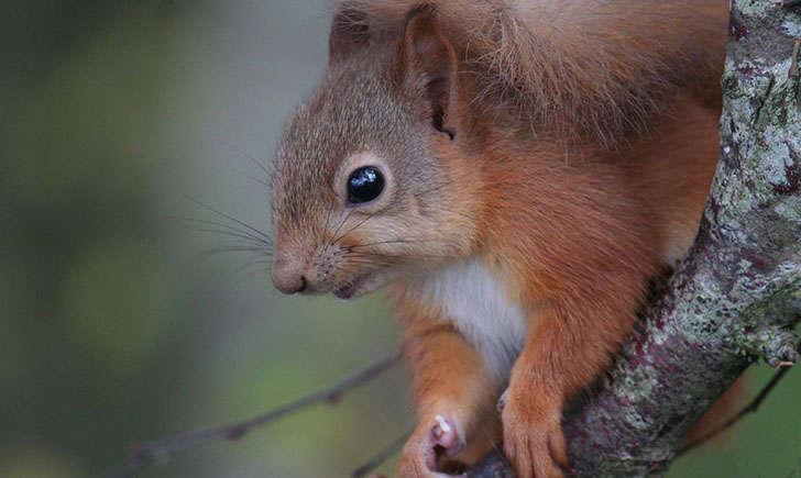 Ecureuil roux (Crédits : Alastair - Flikr)