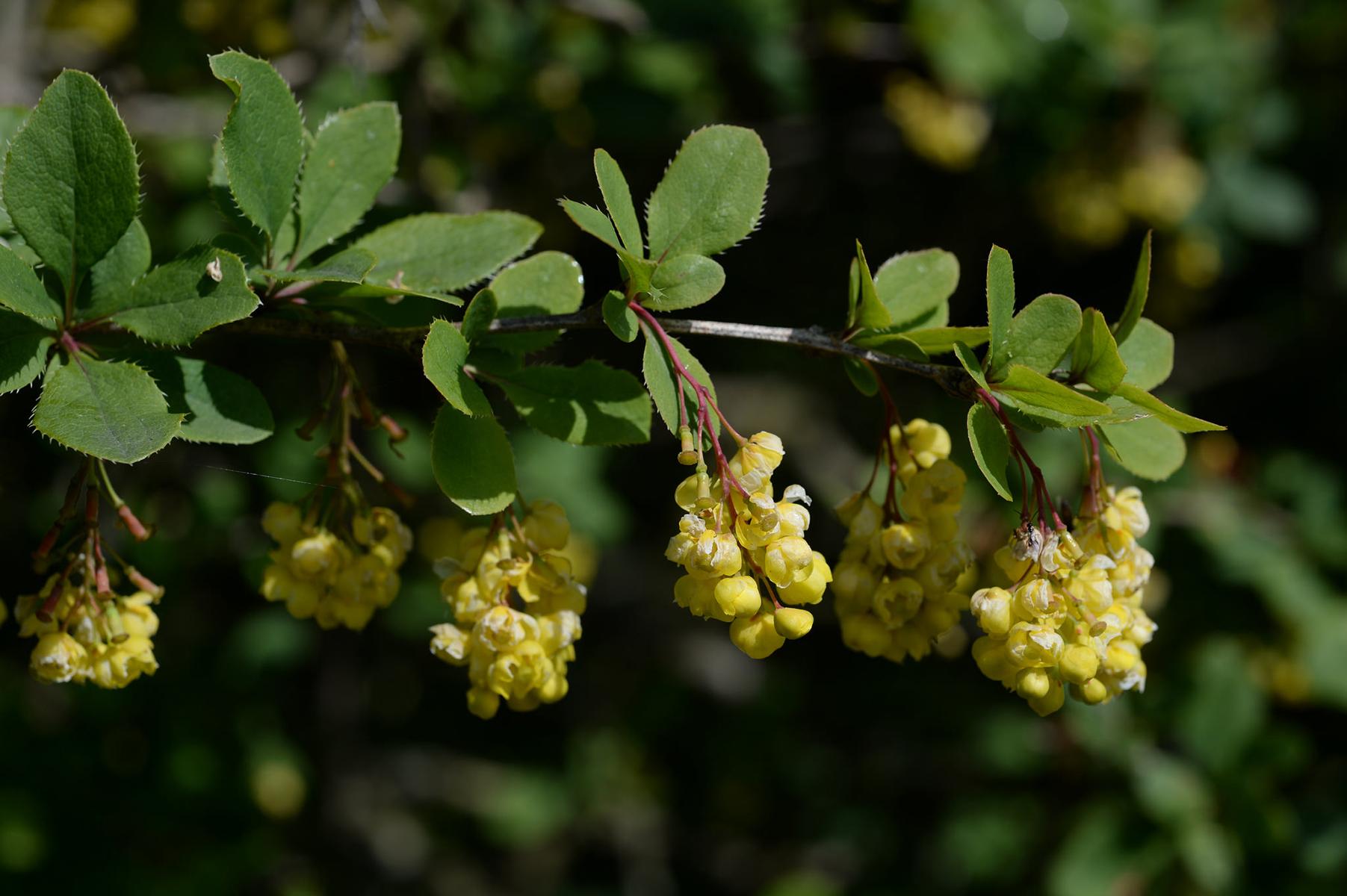 Epine-vinette, fleurs. Crédits : FreeUsePhotos - Flickr