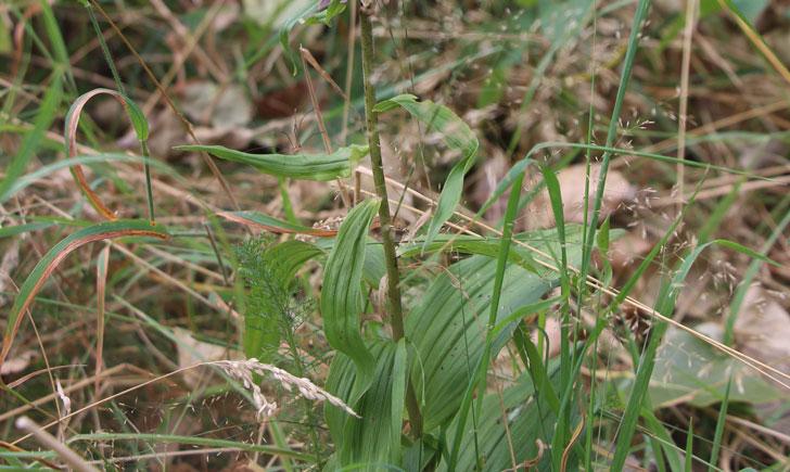 Epipactis à larges feuilles -Epipactis helleborine (crédit: Quessoy)