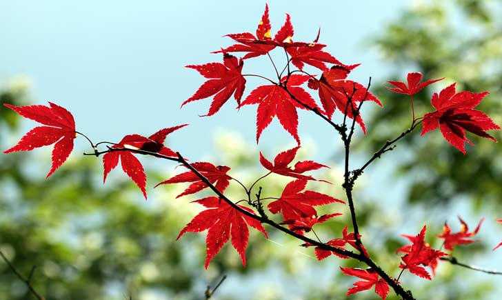 Erable japonais, feuilles, Credits : Guy Renard