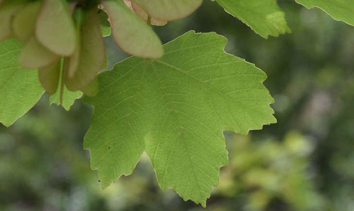 Erable à feuilles d