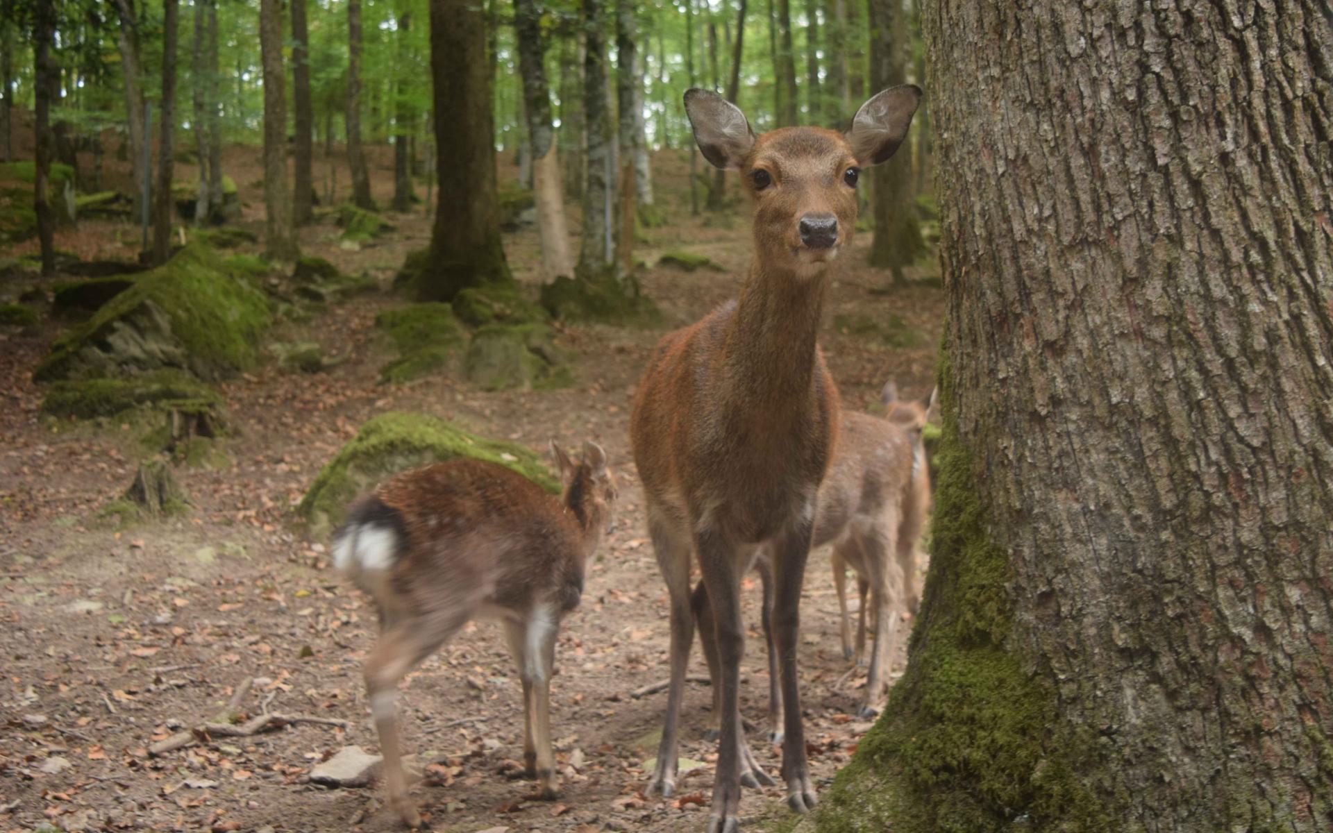 Femelle sika et son faon (Crédits : Sabine Meneut)