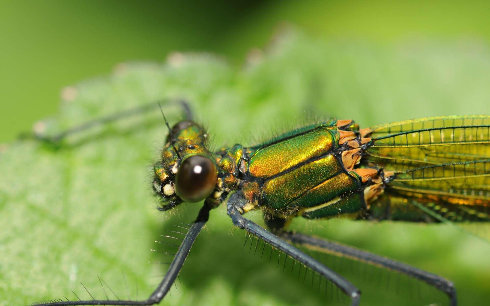Caloptéryx éclatant - Femelle (Crédits : Thomas Bresson - Flickr)