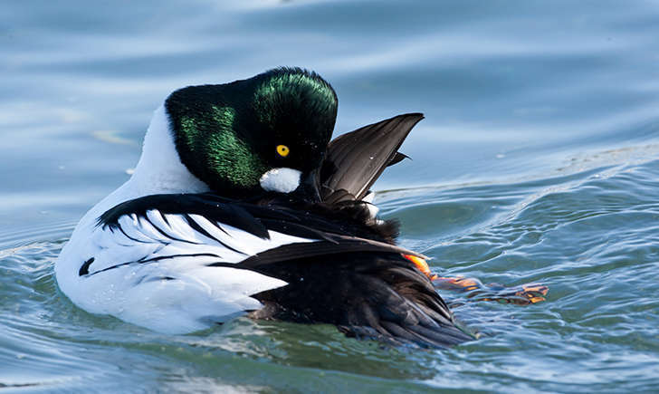 Garrot à oeil d'or mâle (Crédits: Pacific Southwest Region USFWS - flickr)