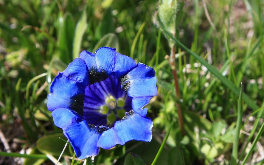 Gentiane acaule - fleur (Crédits : Cyril Gautreau)