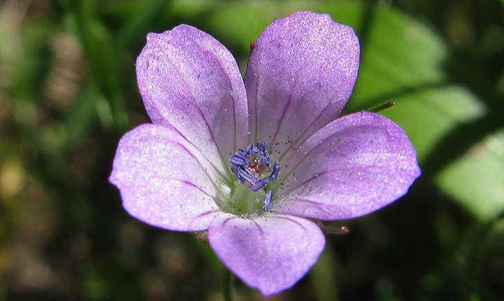 Géranium colombin (Crédits: Jacinta lluch valero - flickr)