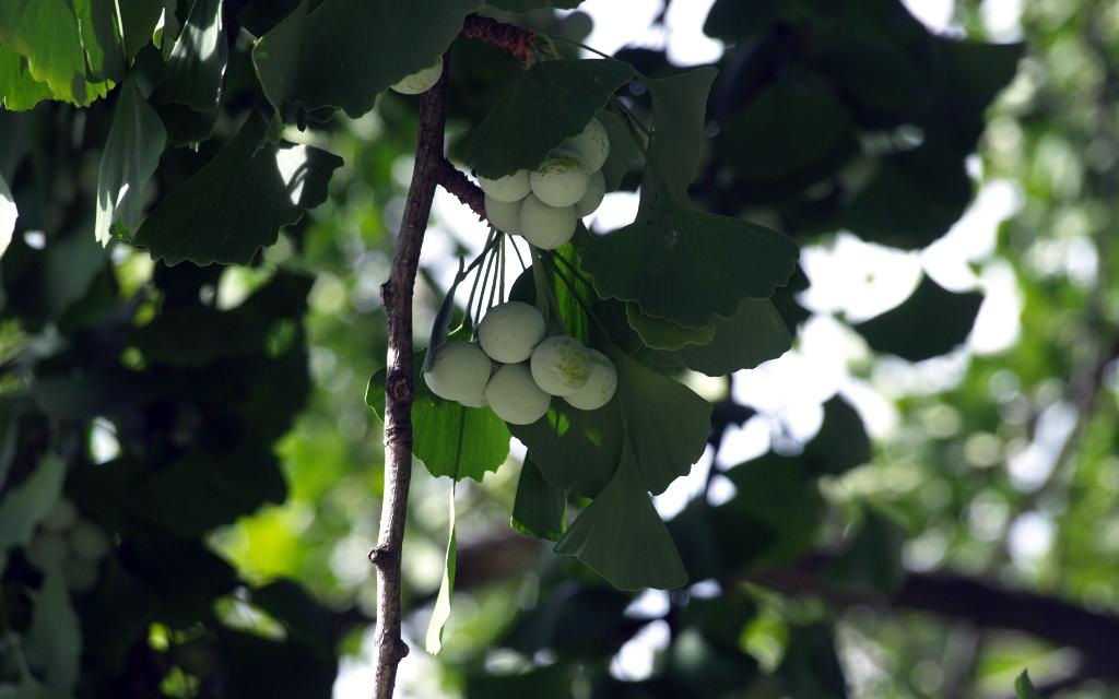 Ginkgo biloba, fruits. Crédit : Juan Carlos Lopez Almansa - Flickr