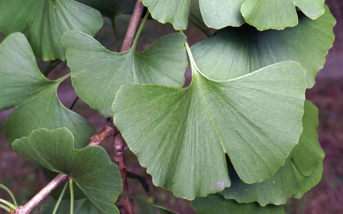 Ginkgo biloba, feuilles. Crédit : Plant Image Library - Flickr