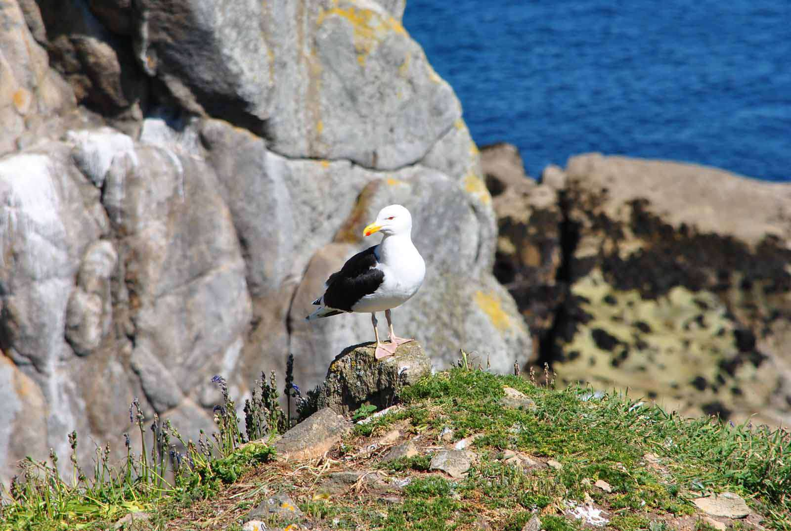 goéland marin - Crédit: photothèque Bretagne Vivante-sepnb