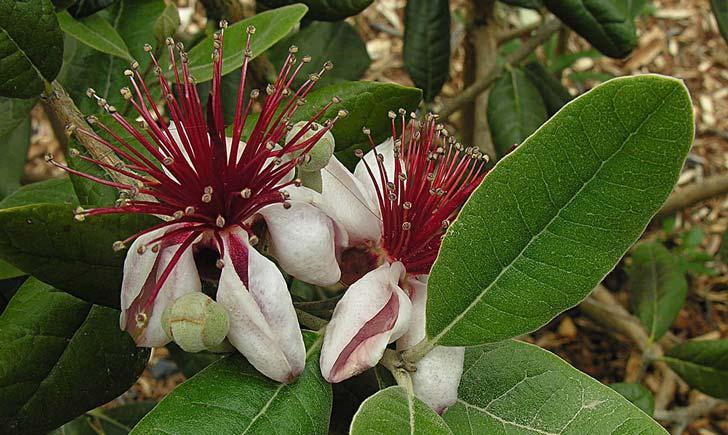 Fleur du goyavier de Montevideo (Crédits : Dick Culbert)
