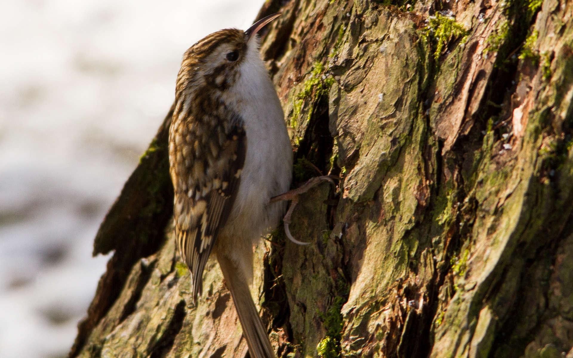 Grimpereau des bois (Crédits: Aero Pixels - Flickr)