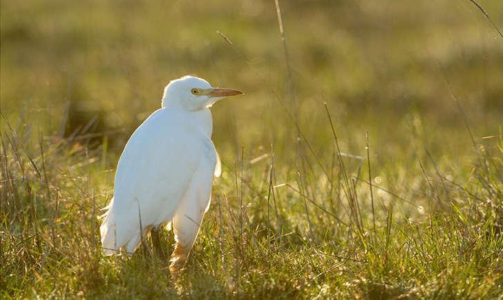 Heron garde boeufs (Crédits : Jean-Jacques Boujot)