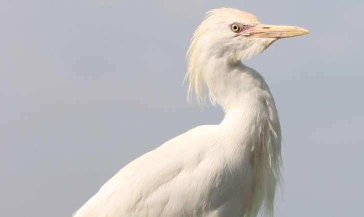 Heron garde boeufs (Crédits : Didier)