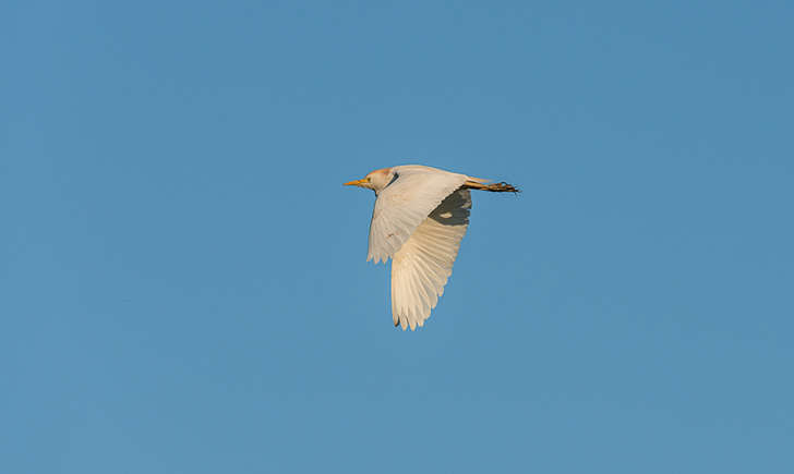 Heron garde boeufs (Crédits : Guy Magrin)