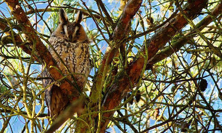 Hibou moyen-duc dérangé (Crédits: Bernard Stam - flickr)
