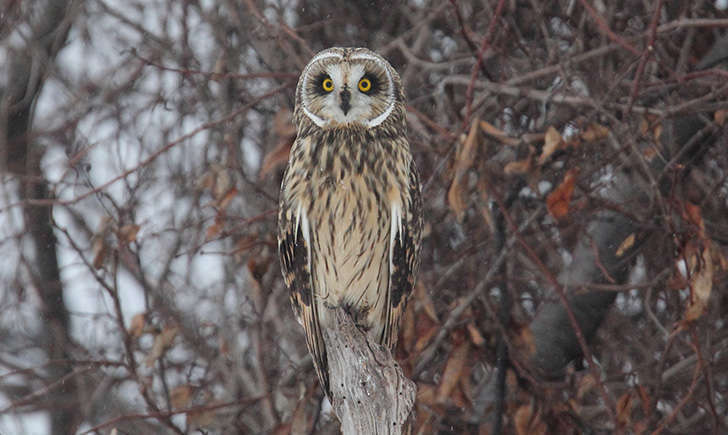 Hibou des marais (Crédits: Dominic Sherony - flickr)