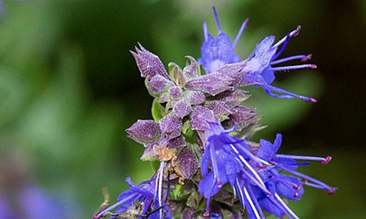 Hyssopus officinalis (crédit: Helene Rival)