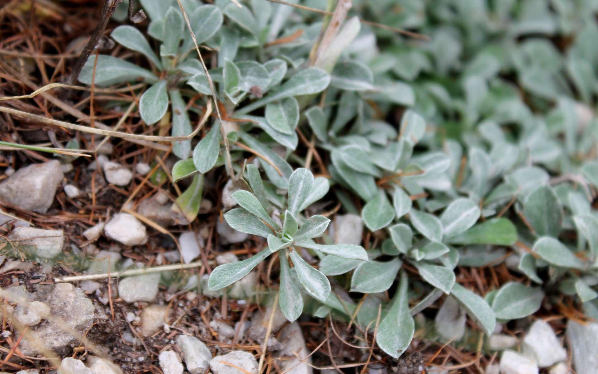 Pied de chat dioïque - feuilles (Crédits : Léa Charbonnier)