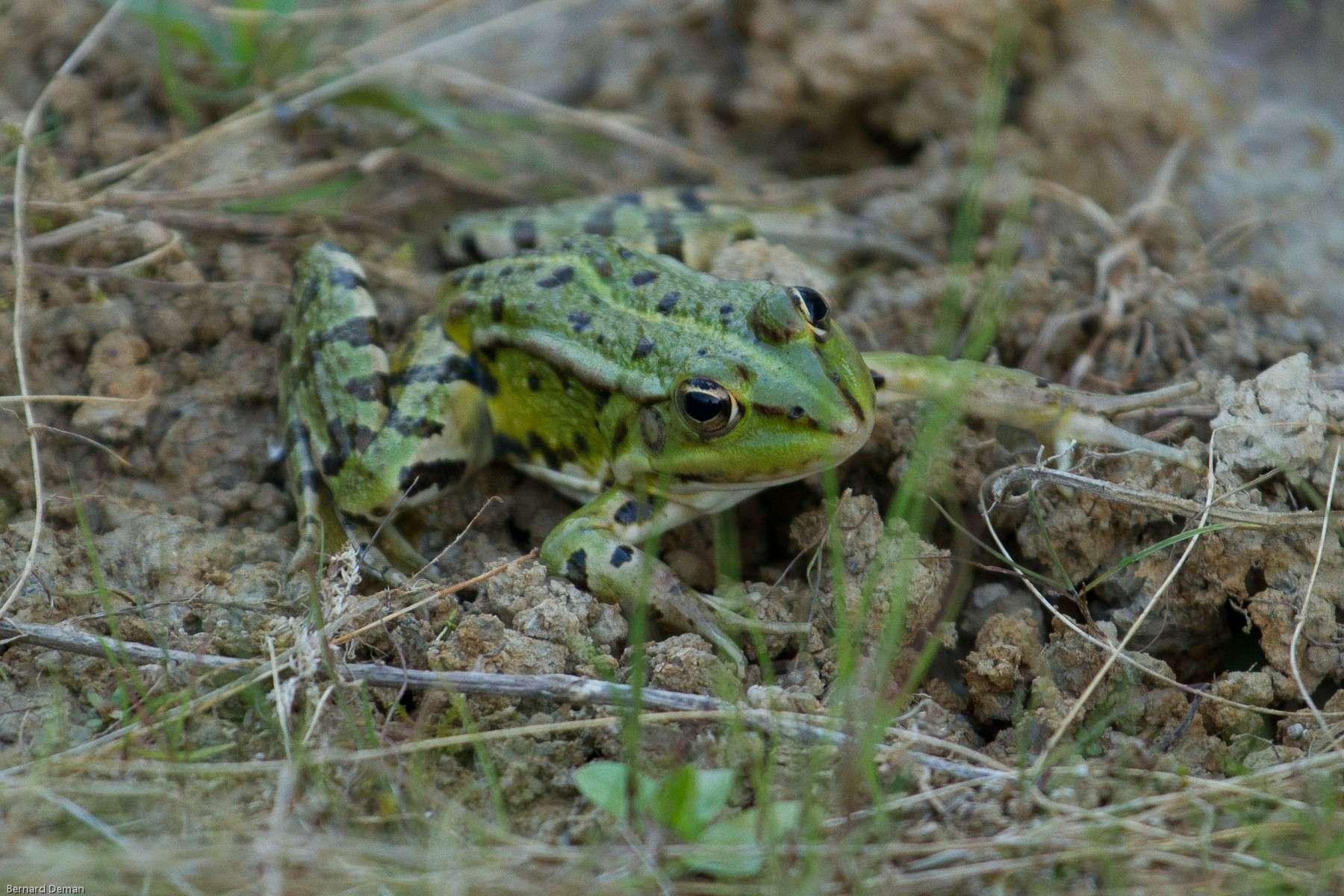 Grenouille verte - Crédit: Bernard Deman