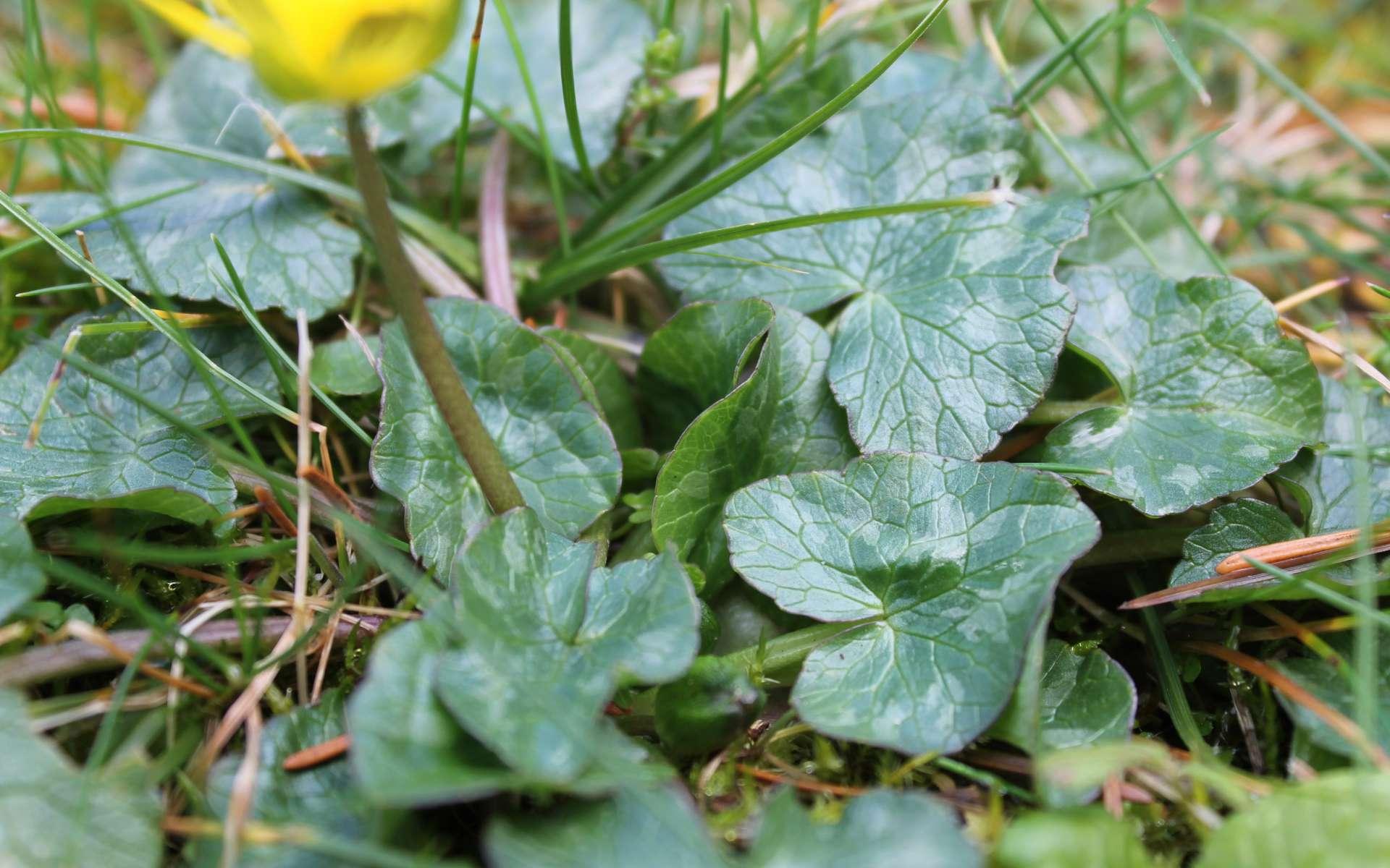 Ficaire fausse renoncule - feuilles (Crédits : Léa Charbonnier)