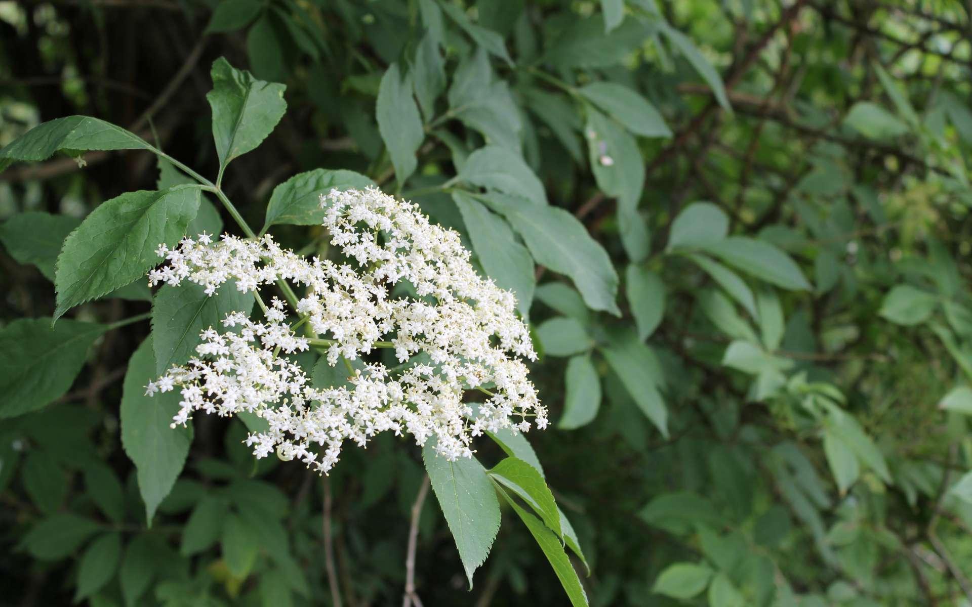 Sureau noir - fleurs et feuillles (Crédits : Léa Charbonnier)