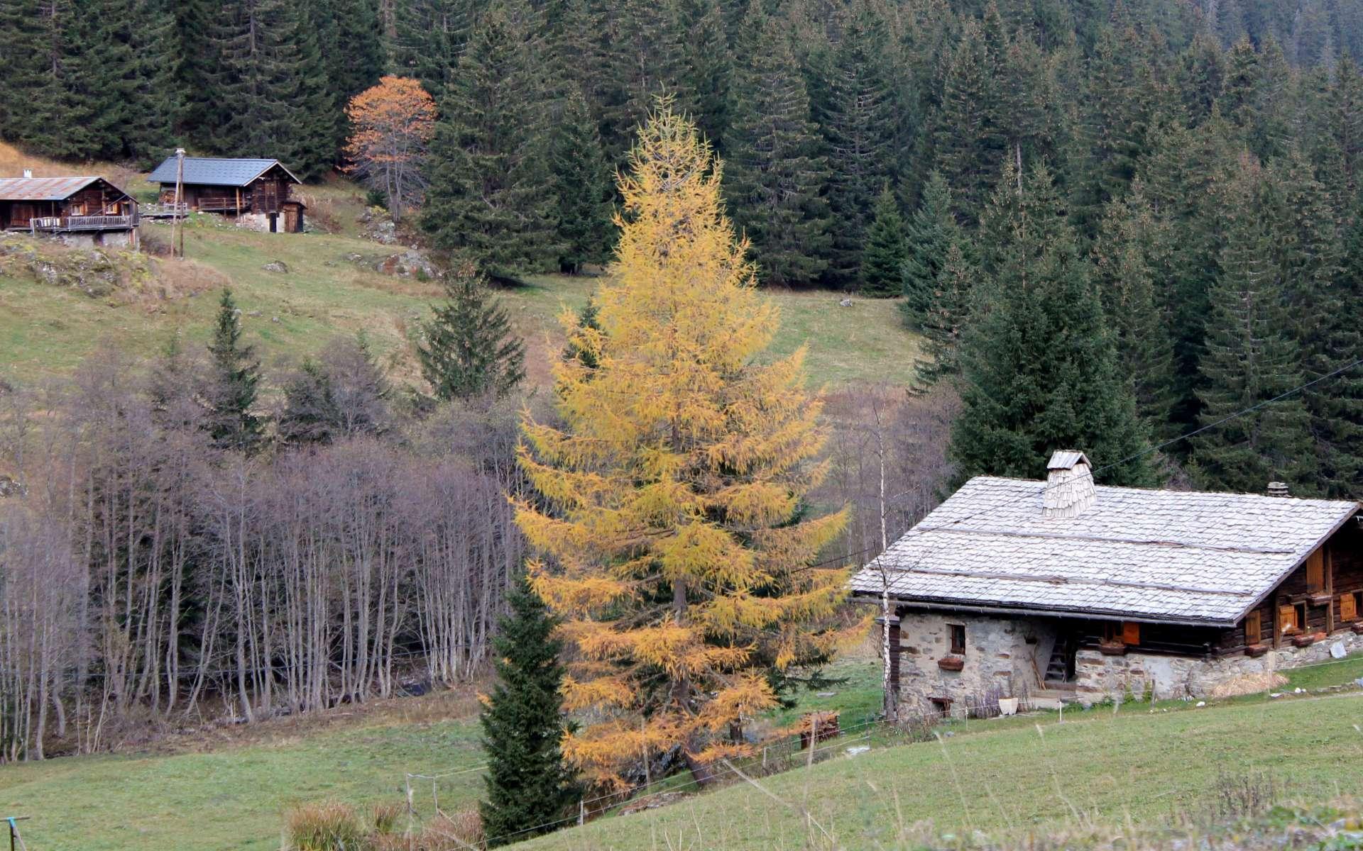 Mélèze en automne (Crédits : Léa Charbonnier)