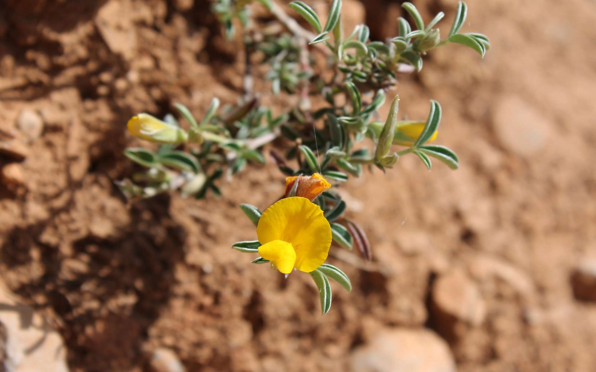 Cytise argenté - feuilles et fleur (Crédits : Léa Charbonnier)