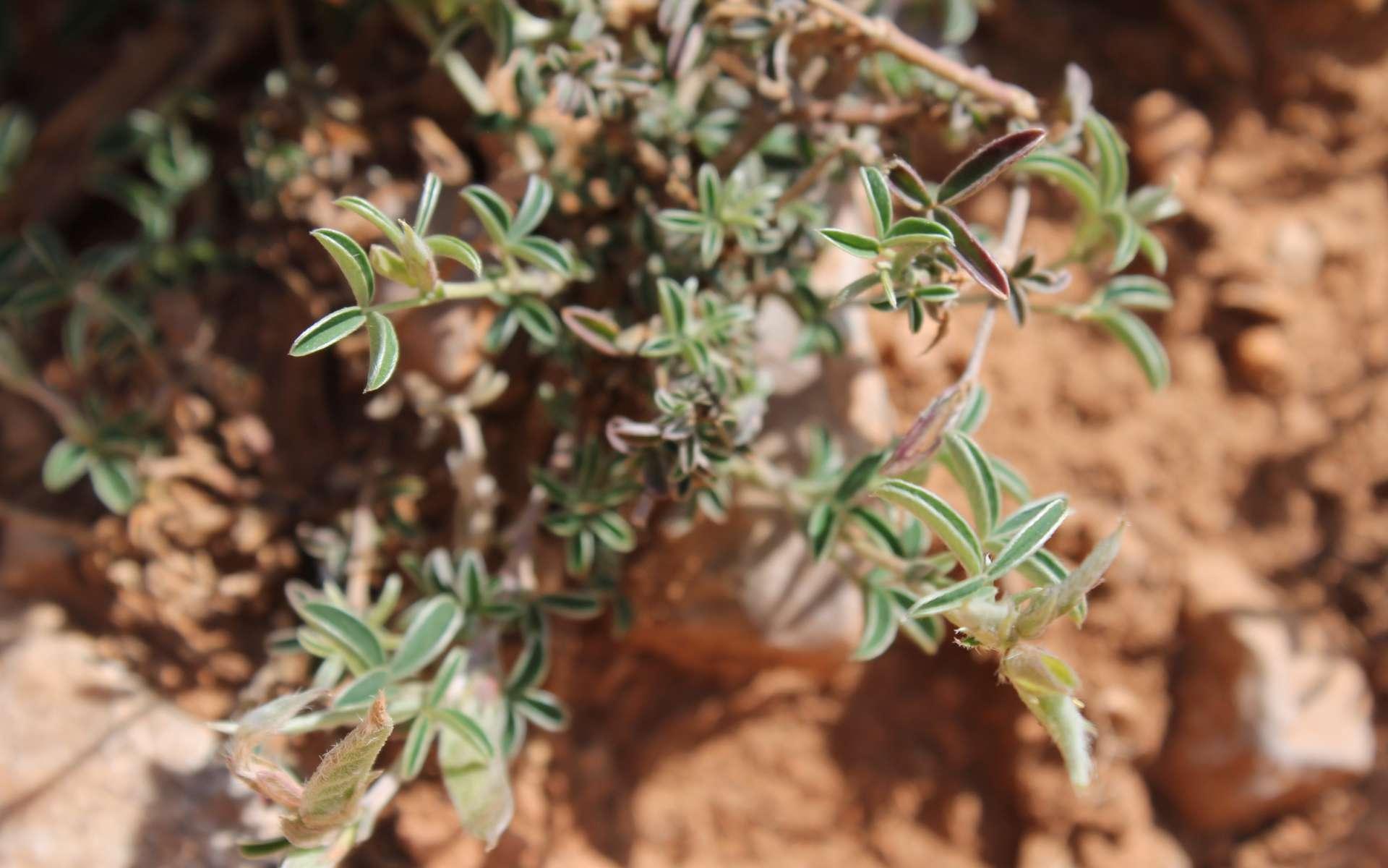 Cytise argenté - feuilles (Crédits : Léa Charbonnier)