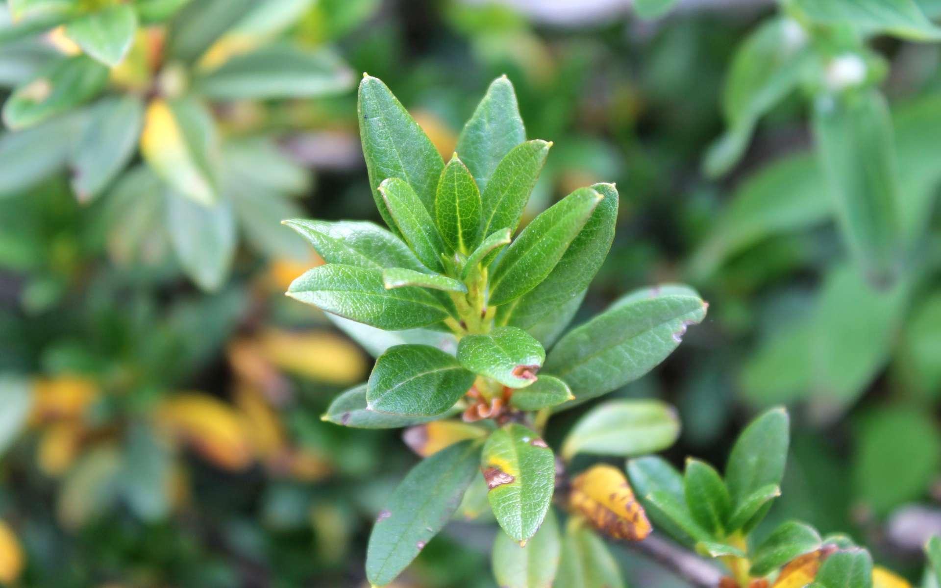 Rhododendron ferrugineux - feuilles (Crédits : Léa Charbonnier)