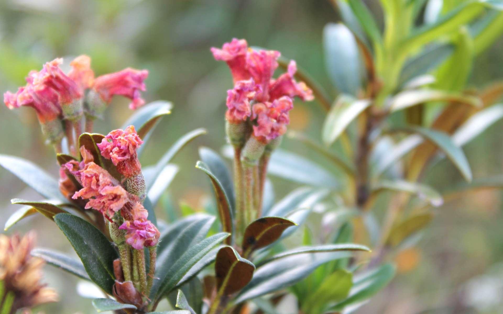 Rhododendron ferrugineux - feuilles passées et feuilles (Crédits : Léa Charbonnier)