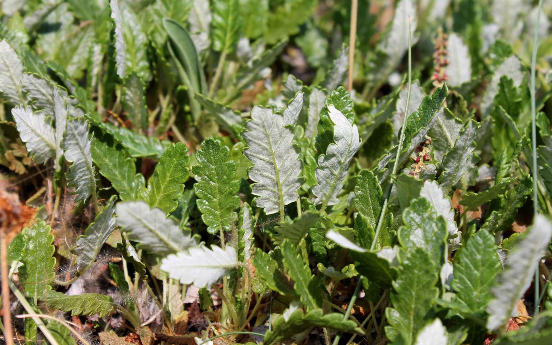 Dryade à huit pétales - feuilles (Crédits : Léa Charbonnier)