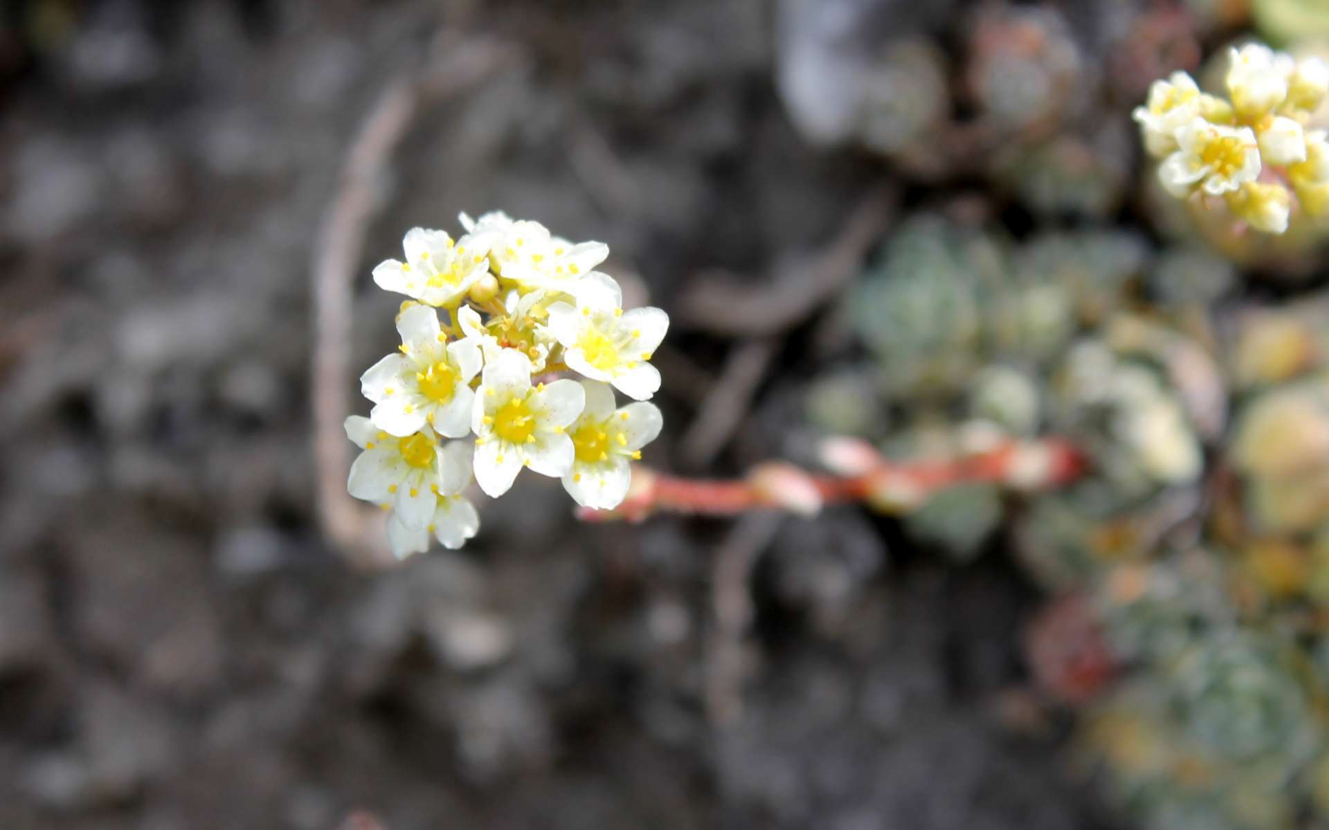 Saxifrage paniculée - fleurs (Crédits : Léa Charbonnier)
