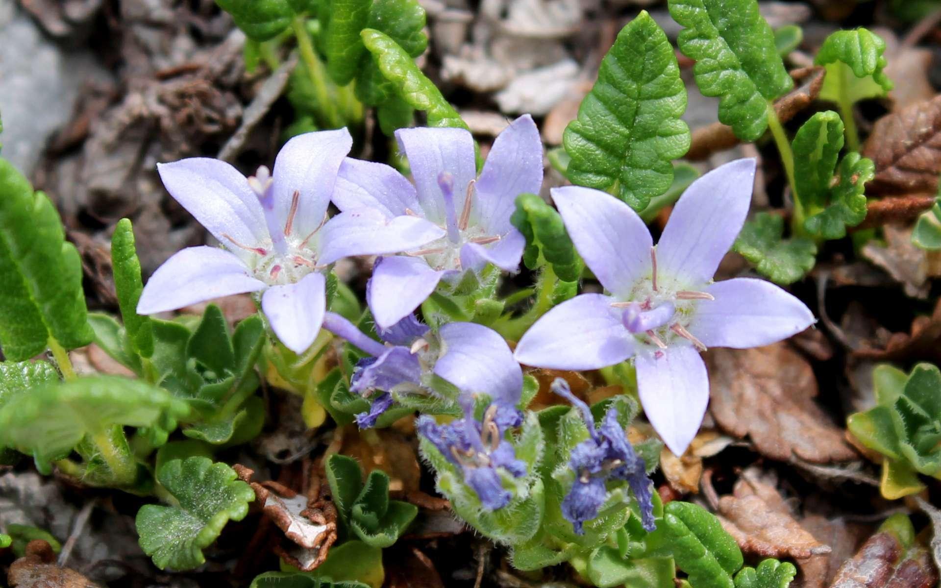 Campanule du Mont Cenis - fleurs (Crédits : Léa Charbonnier)