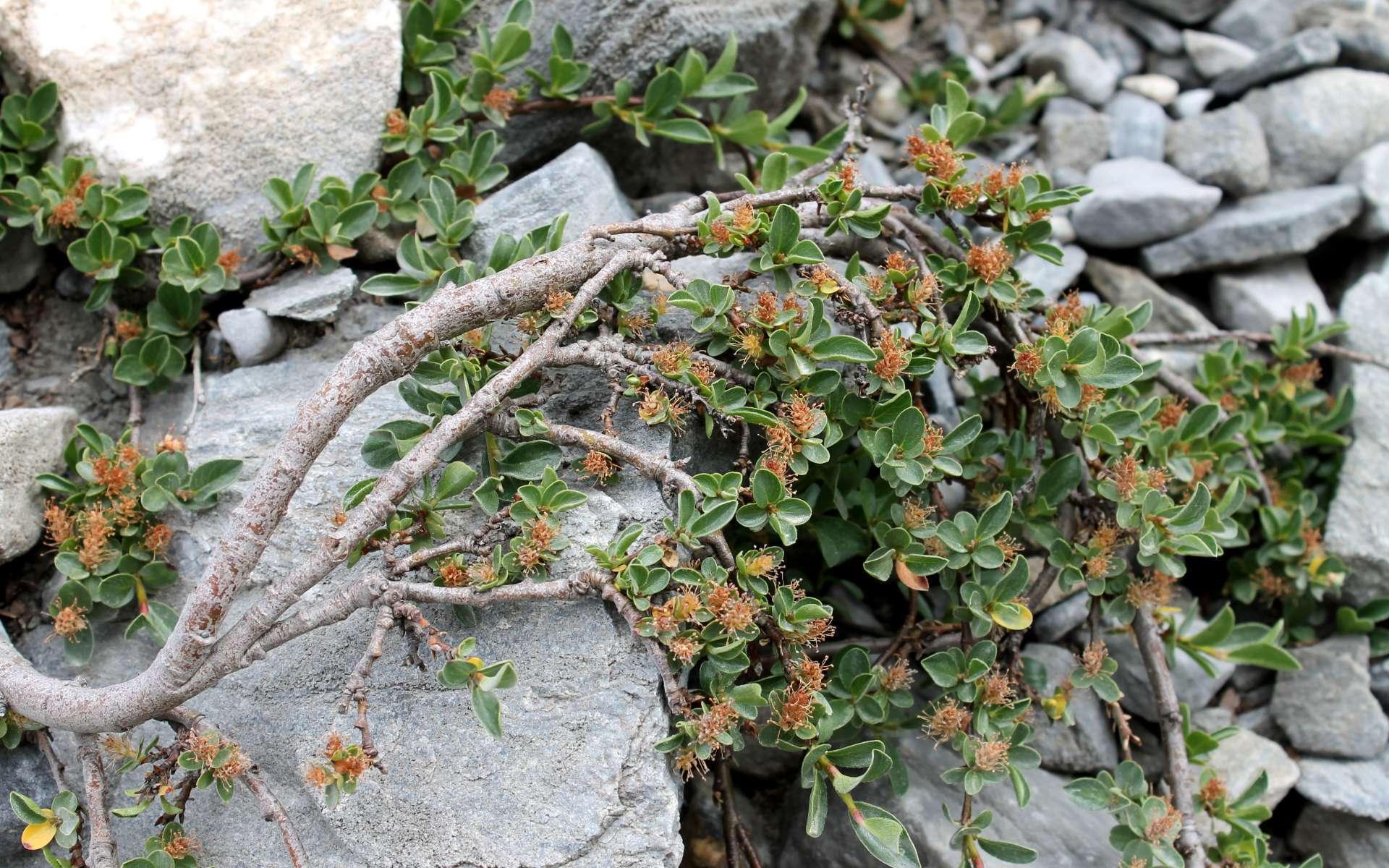 Saule à feuilles émoussées (Crédits : Léa Charbonnier)