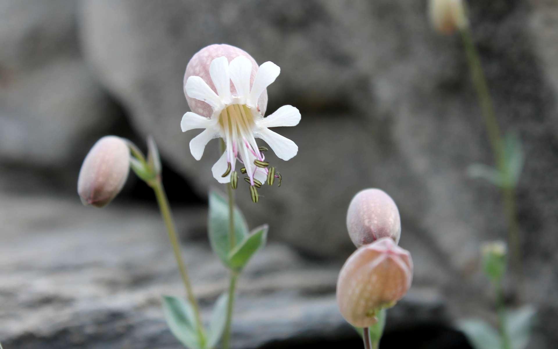 Silène couché - fleur (Crédits : Léa Charbonnier)